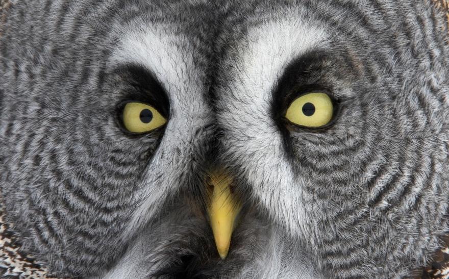 Great Grey Owl (Strix nebulosa) Tornio Finland March 2009, Markus Varesvuo